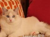 双血极品布偶猫 幼猫小猫咪出售