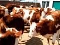 出售优质改良三代四代西门塔尔牛肉牛繁殖母牛小牛犊育肥牛种牛