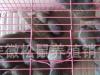 黄山松鼠幼崽大量接批