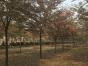 邳州20公分榉树的价格是多少
