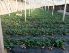 新鲜无公害草莓 樱桃