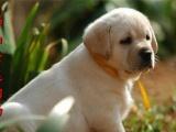 正规犬舍专业繁殖纯种拉布拉多犬 品质健康双保障