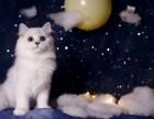 金吉拉幼猫 纯种蓝眼长毛猫 宠物猫活体波斯猫