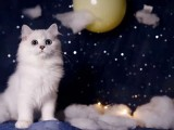 金吉拉幼貓 純種藍眼長毛貓 寵物貓活體波斯貓