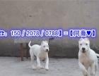 杜高犬-杜高犬幼犬-杜高-杜高犬价格
