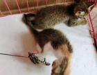 洛阳市家养橘猫幼崽多少钱