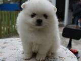 武汉超萌纯种哈多利球形博美幼犬 粉雕玉琢 包健康 包活