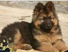 济南本地犬舍 德国牧羊犬 完美品质 包售后放心购