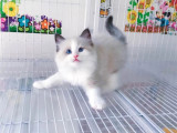 江西新余纯种布偶幼猫一般多少钱一只