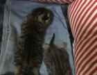 英短折耳猫猫找家长