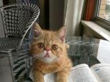 家庭繁育纯种加菲猫