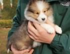 最长情的相伴 您的爱宠喜乐蒂犬 给它一个温暖的家吧!