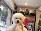 重庆好BB专业比熊犬舍出售中国冠军登陆埃里克斯直女