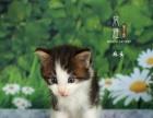 宁波风雅布偶猫舍的小猫接受预定