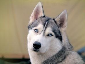哈士奇血统犬 哈士奇幼犬 双血统哈士奇 三把火蓝眼二哈