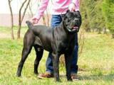 意大利双血统卡斯罗护卫犬 品相一流 包健康 上门选狗