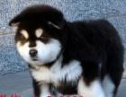 阿拉斯加雪橇犬西伯利亚纯种雪橇犬出售专业繁殖阿拉斯
