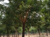 莱芜20公分白蜡树基地自产自销