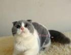 出售精品蓝白蓝猫折耳猫短毛猫