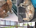 孟加拉豹猫宝宝预定