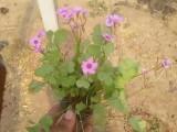 咸阳时令花卉万寿菊一串红鸡冠花批发四季海棠长春花孔雀草供应