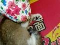 出售新加坡猫咪