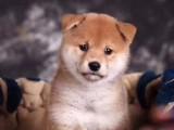 佛山哪里买柴犬较好 纯种柴犬 日本进口柴犬