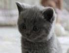 自己蓝猫宝宝品相自己看