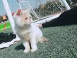 加菲母猫转让