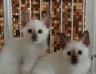 家庭繁育加菲暹罗猫猫找家长价格美丽