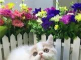 自家 最后一个加菲猫净樊花带血统3500 保证健康