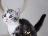 出售纯血统美国短毛猫—疫苗证书齐—终身质保