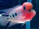龙鱼,热带鱼,锦鲤鱼,发财鱼鱼缸专卖