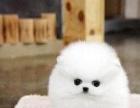 精品哈多利球体博美犬出售 多只待售 可