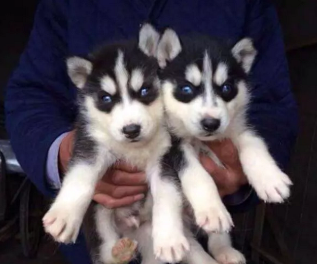 太原哪里有宠物狗出售 太原哪里有哈士奇出售 哈士奇多少钱