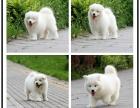 萨摩耶微笑天使宠物狗出售,健康纯种,多只可挑选