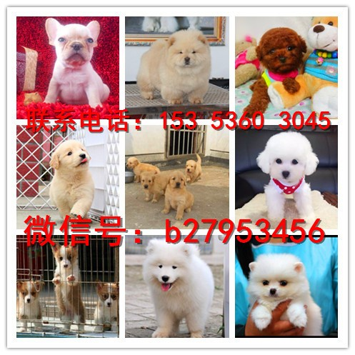 扬州犬舍对外售卖吉娃娃犬 吉娃娃犬图片 买吉娃娃犬价格
