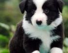 纯种边牧犬 七白到位 纯种健康 疫苗做齐