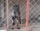 2个月的精品马犬低价出售 马犬图片