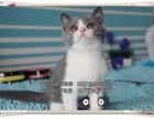 CFA高品质蓝猫DDMM均有保证健康欢迎上门