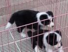 上海哪里有边境牧羊犬卖 泰迪金毛哈士奇秋田博美阿拉多少钱价格