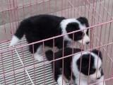 绍兴哪有边境牧羊犬卖 绍兴边境牧羊犬价格 边境牧羊犬多少钱