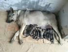 两个月的狼青多少钱那里出售狼青幼犬