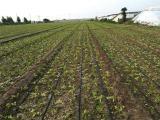规模大的迷宫式滴灌带服务商——河北棉花种植滴灌带