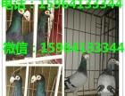 宁夏特大元宝鸽价格特大元宝鸽养殖场