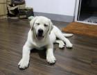 出售双血统拉布拉多幼犬 颜色均有 可签协议