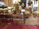 成都出售高品質金毛犬 簽協議包建康 上門挑選可優惠