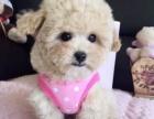 苹果脸玩具茶杯泰迪犬 高端品质 诚信为本 空运全国