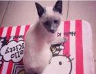 售出自家养殖暹罗猫暹罗小幼崽宠物纯种暹罗猫保健康
