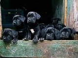 卡斯罗犬养殖场